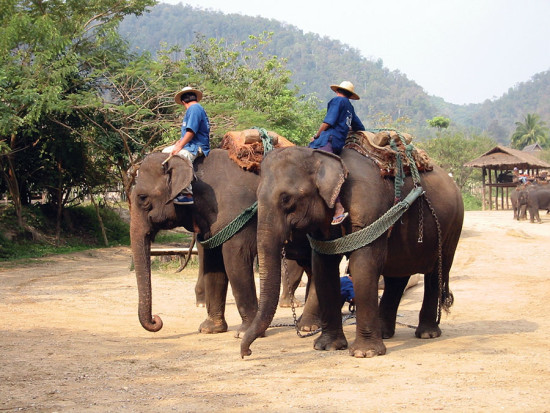 Mahouts preparing elephants for trekking.