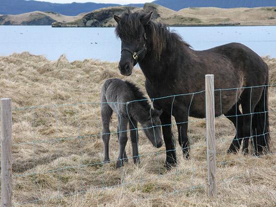 Icelandic ponies at Skutustađir Farm.