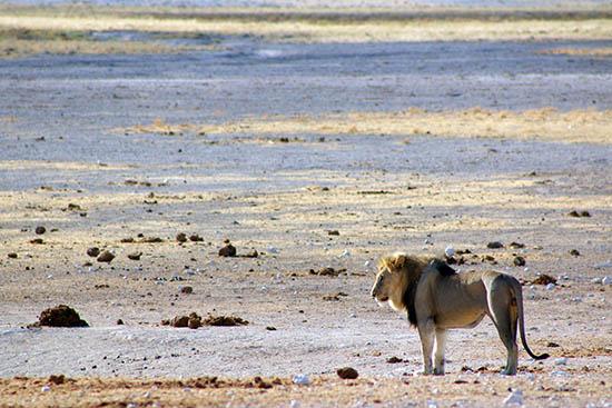Namibian Desert Lion